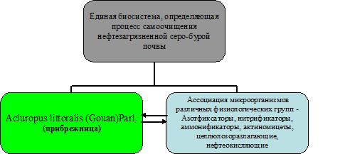 Фиторемедиационный потенциал вида Acluropus littoralis (Gouan)Parl. (Прибрежница) в нефтезагрязненных почвах Апшеронского п-ва